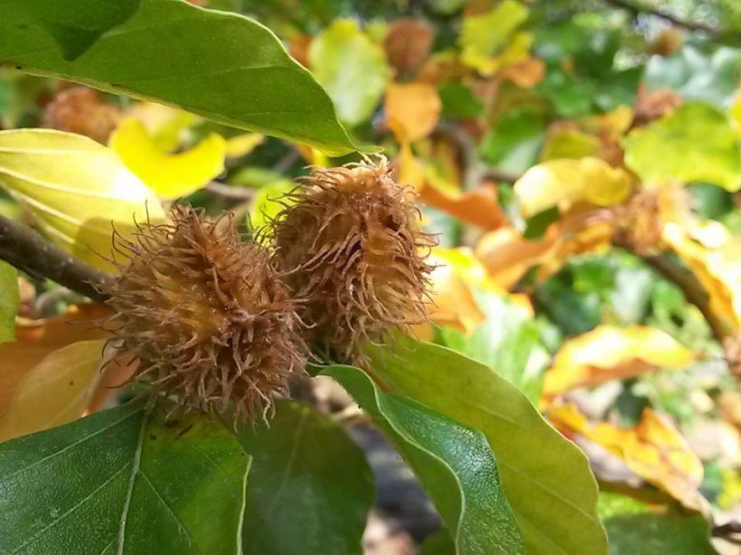 Bucheckern sammeln - Eine Delikatesse aus der Natur 02