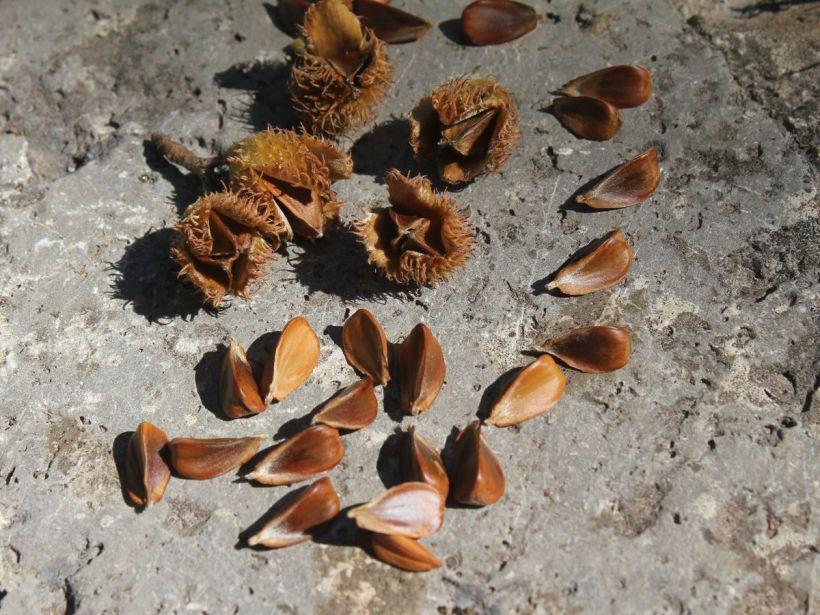 Bucheckern sammeln - Eine Delikatesse aus der Natur 03
